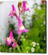 Pink Toadflax Canvas Print