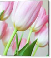 Pink Tulip Flowers Canvas Print