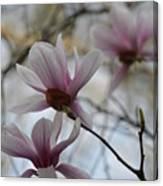 Pink Tulip Magnolias Canvas Print