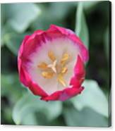 Pink Tulip Top View Canvas Print
