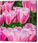 Pink Tulips Aglow Canvas Print