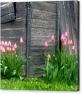Pink Tulips And Weathered Shed Canvas Print