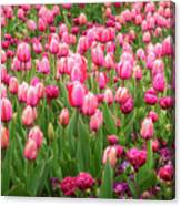 Pink Tulips At Floriade In Canberra, Australia Canvas Print