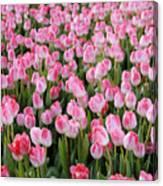 Pink Tulips- Photograph Canvas Print