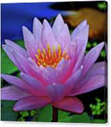 Pink Water Lily 007 Canvas Print