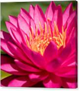 Pink Waterlily Canvas Print