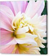 Pink White Dahlia Flower Soft Pastels Art Print Canvas Baslee Troutman Canvas Print