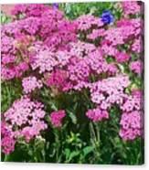 Pink Yarrows Canvas Print