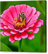 Pink Zinnia Bee Canvas Print