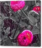 Pink Zinnias Against Grey Background Canvas Print