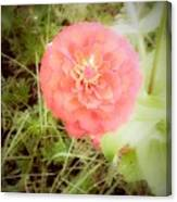 Pinkish Orange Zinnia On Green Background Canvas Print
