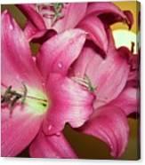 pinks Lilli Canvas Print