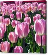Pinky Tulips Canvas Print
