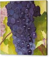 Pinot Noir Ready For Harvest Canvas Print