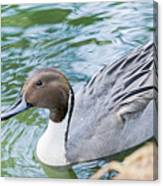 Pintail Portrait Canvas Print