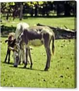 Pinto Donkey I Canvas Print