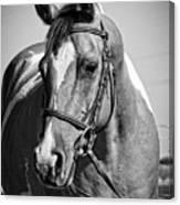 Pinto Pony Portrait Black And White Canvas Print