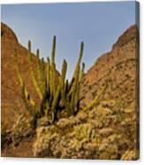 Pipe Organ Cactus At Sunrise Canvas Print