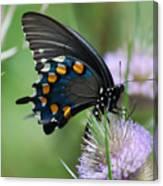 Pipevine Swallowtail Canvas Print