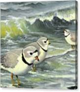 Piping Plovers At The Shore Canvas Print