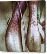 Pitcher Flower Sarracenia Canvas Print