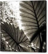 Plant 8661 Canvas Print