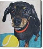 Playful Dachshund Canvas Print