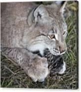 Playful Lynx Canvas Print