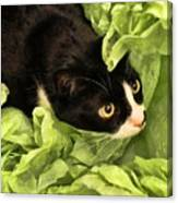 Playful Tuxedo Kitty In Green Tissue Paper Canvas Print