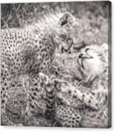 Playtime In Africa- Cheetah Cubs Acinonyx Jubatus Canvas Print