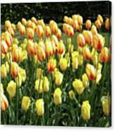 Plenty Of Tulips Canvas Print