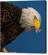 Plucking Feather's From Prey Canvas Print