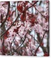 Plum Tree In Bloom Canvas Print