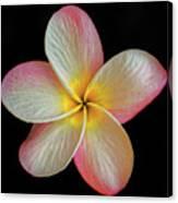 Plumeria Flower On Black Canvas Print