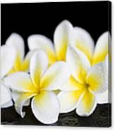 Plumeria Obtusa Singapore White Canvas Print