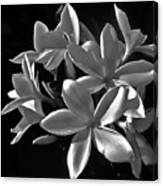 Plumeria Proper Evening Canvas Print