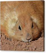 Plump Resting Prairie Dog Laying Down Canvas Print