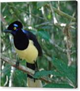 Plush-crested Jay   Cyanocorax Chrysops Canvas Print