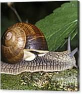 Pneumostome Of A Burgundy Snail Canvas Print