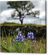 Pocket Of Lupines Canvas Print