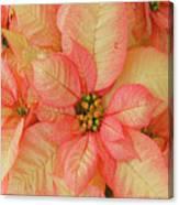 Poinsettia Passion Canvas Print