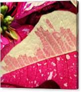 Poinsettias -  Painted And Speckled Up Close Canvas Print