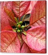 Poinsettias -  Pinks In The Center Canvas Print