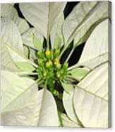 Poinsettias -  Winter White Center Canvas Print