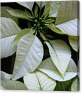 Poinsettias -  Winter Whites In Contrast Canvas Print