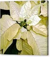 Poinsettias In White Canvas Print