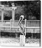 Point Clear Alabama Brown Pelican - Bw Canvas Print