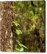 Poison Ivy Climbing Oak Tree Trunk Canvas Print