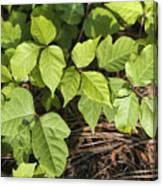 Poison Oak Vine - Toxicodendron Canvas Print