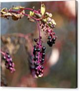 Pokeweed Berries 20121020_129 Canvas Print